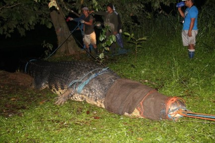 Largest Crocodile Ever Killed Largest crocodile ever